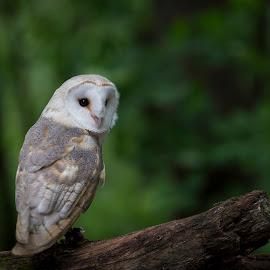 Barn Owl in the Woods by Andrea Silies - Animals Birds ( bird, wbs, nature, 2015, 70-200mm, barn owl, world bird sanctuary, owl, d610, wildlife, andrea silies, nikon, tamron, animal )