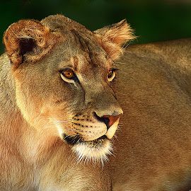 Lioness by Shawn Thomas - Animals Lions, Tigers & Big Cats