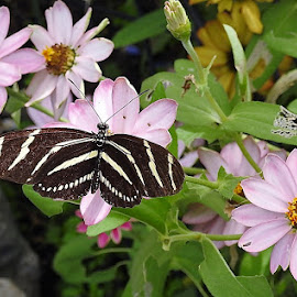 zebra longwing in the garden by Mary Gallo - Animals Insects & Spiders (  )