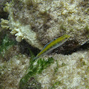 Bluehead Wrasse (initial/juvenile)