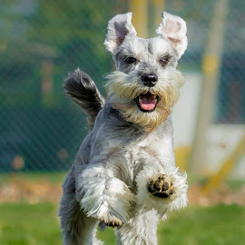 Schnauzer Running by Jenny Trigg - Animals - Dogs Running ( dog running, miniature schnauzer, schnauzer, dog photography )