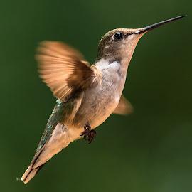Hummingbird by Mike Watts - Animals Birds ( flying, green, hummingbird )