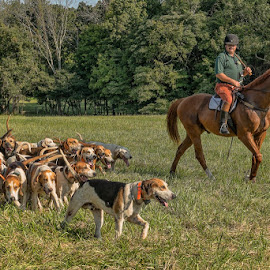 Fox Hunt by Gwen Paton - Animals - Dogs Running ( hounds, ohio, fox hunt )