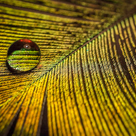 Water drop by Ovidiu Sova - Nature Up Close Natural Waterdrops ( bird, water drops, colorful, feather, peacock,  )