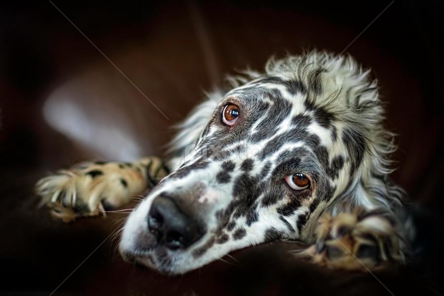 Sadly hopeful by Andrew Lawlor - Animals - Dogs Portraits ( canine, muzzle, setter, english setter, paws, dog, english, eyes )