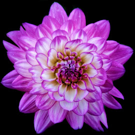 Dahlia by Margie Troyer - Flowers Single Flower