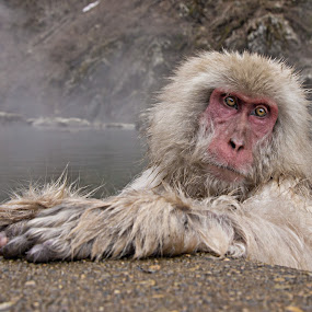 Unwinding by Petra Bensted - Animals Other Mammals ( snow monkey, japan, nature, hot springs, monkey, animal )