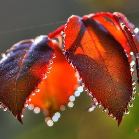 My Morning Dew by Leonard Sani - Nature Up Close Leaves & Grasses ( red, granules, dew, dewdrop, leaves, morning, bokeh )