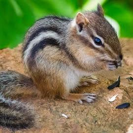 Chipmunk by Dave Lipchen - Animals Other Mammals