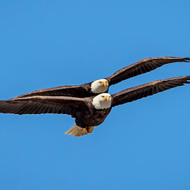 Pair of Bald Eagles in flight by Debbie Quick - Animals Birds ( flight, raptor, debbie quick, outdoor photography, nature lovers, bald eagle, natures best shots, birds, debs creative images, birds of prey, animal photography, nature photography, poughkeepsie, wildlife, nature, nature up close, new york, outdoor magazine, wildlife photography, outdoors, flying, tandem, eagle, animal, bird lovers, wild, hudson valley,  )