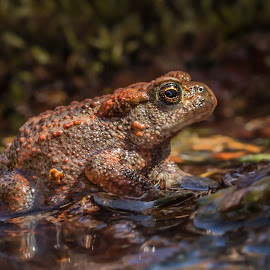 toad by Eddie Leach - Animals Amphibians ( nature, frog, nature up close, toad, toads )
