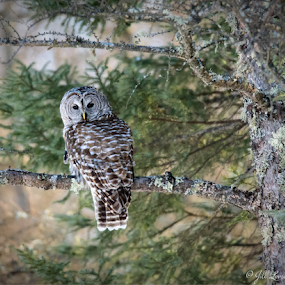 Barred Owl in forest by Jill Beim - Animals Birds ( birds of prey, nature, owl, trees, birds )