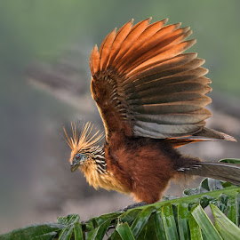 Hoatzin by Phyllis Plotkin - Animals Birds ( bird, nature, ecuador, hoatzin, amazon )