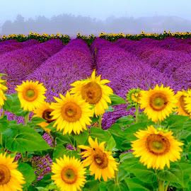 Morning in Provance1 by Igor Rosina - Landscapes Prairies, Meadows & Fields ( field, sunfower, fog, lavande, lavender, valensole, lvender field )