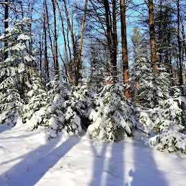 Long Shadows by Paulette King - Landscapes Forests ( snow, trees, forest, woods, shadows )
