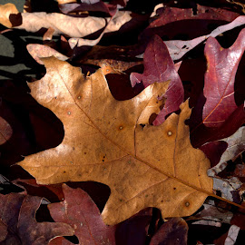 Chasing Fall Colors #1 by Cal Brown - Nature Up Close Leaves & Grasses ( up close, fall leaves, fall colors, nature, oak, fallen leaves, leaves )