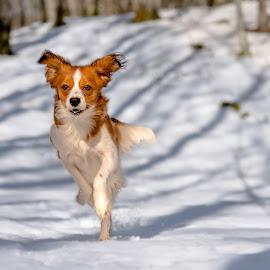Joys of Spring by Colin Harley - Animals - Dogs Running ( tosca, kooikerhondje, d750, forest, kooiker, pup, sun, trees, spring, nikon, nikkor, sweden, puppy, 24-120mm, snow, dog )