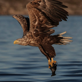 Whitetailed eagle by Lillian Utstrand Gulliksen - Animals Birds ( flatanger, seaeagle, eagle, adulteagle, whitetailedeagle )