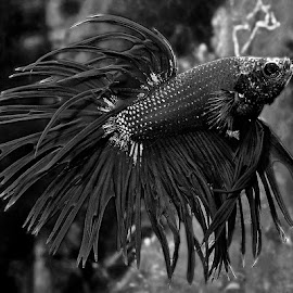 Betta by David Winchester - Black & White Animals