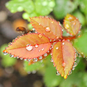 by Maureen Figueira - Nature Up Close Leaves & Grasses ( water, dew, drops, leaves, rain )