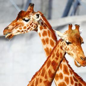 Duo de girafe by Gérard CHATENET - Animals Other Mammals