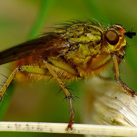 Male Yellow Dungfly by Pat Somers - Animals Insects & Spiders (  )