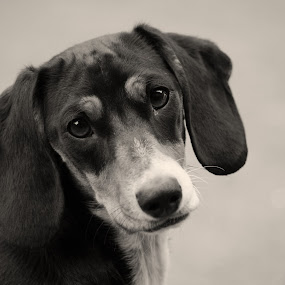 Dachshund by Johan Niemand - Animals - Dogs Portraits ( dachshund, ears, dog, black, puppy eyes )