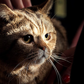 in the shadows... by Aleksander Cierpisz - Animals - Cats Portraits