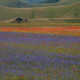Castelluccio 3 by Bruno Brunetti - Landscapes Prairies, Meadows & Fields ( flowers, italy, castelluccio, fields,  )
