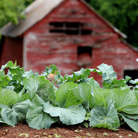 Berryvine Farm by Christy Berry - Nature Up Close Gardens & Produce ( farm, red, barn, cabbage, food, garden )