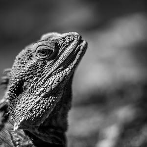iguana b&w.jpg
