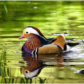 Mandarin by Darrell Raw - Animals Birds