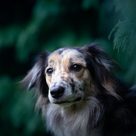 buddy by Magdalena Sikora - Animals - Dogs Portraits ( merle border, border collie, dog portrait )