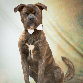 Is that a Camera? by Myra Brizendine Wilson - Animals - Dogs Portraits ( pets, brindle dog, canine, rescue dogs, dog )