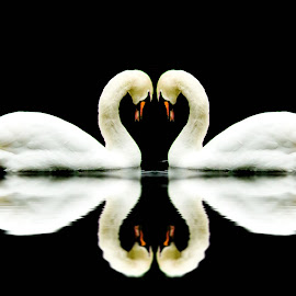 swans a swimming by Les  Martin - Digital Art Animals ( black and white, swan, lake, swimming, fountains abbey )