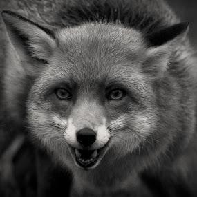 Red Fox by Ceri Jones - Black & White Animals ( face, red, fox, british, wildlife, animal )