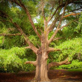 Live Oak in City Park by Kevin Beasley - City,  Street & Park  City Parks ( light, tree, oak, still life, live oak, park )
