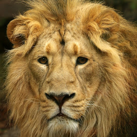 Lion by Ralph Harvey - Animals Lions, Tigers & Big Cats ( lion, wildlife, ralph harvey, bristol zoo, animal )