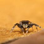 Cyrba Jumping Spider