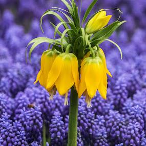 Ters Lale by Veli Toluay - Flowers Flower Gardens ( doğal, naturel, çiçek, terslale,  )