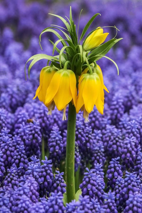 Ters Lale by Veli Toluay - Flowers Flower Gardens ( doğal, naturel, çiçek, terslale )