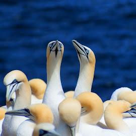 Fou de Bassan by Yvon Beaulieu - Animals Birds