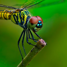 Dragonfly - A Macro by Chiradeep Mukhopadhyay - Animals Insects & Spiders ( nikon, dragonfly, tamron, d5100 )
