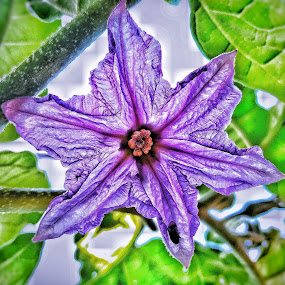 eggplant flower by Erl de Jose - Flowers Single Flower ( plant, garden, eggplant flower, blossom, flower,  )