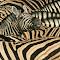 Zebra Landscape.jpg