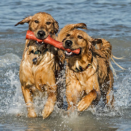 by Harold Blum - Animals - Dogs Playing ( playing, dogs, toy, lake, chicago, beach, twins )