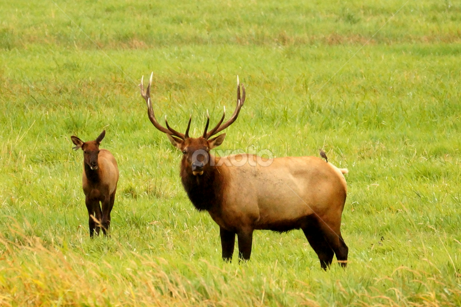 Elk at Dean Creek by Beth Collins - Animals Other ( roosevelt elk, oregon, reedsport, elk, wildlife, dean creek, bull elk, pacific northwest, bull, birds, mammal, animal,  )