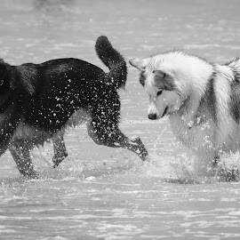 Dog At Play by Viks Pix - Animals - Dogs Running ( water, sand, playful, chasing, play, chase, beach, run, running, gsd, playing, wolf, husky, dog, malamute )
