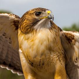 Red Tailed Hawk by Ken Wagner - Animals Birds ( bird of prey, st petersburg, raptorfest, nikon, botd hill, red tail hawk )
