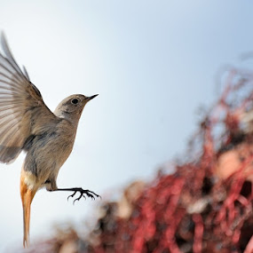 Landing ? by Fabio Ponzi - Animals Birds ( bird, flying, winter, red, wings, seed )